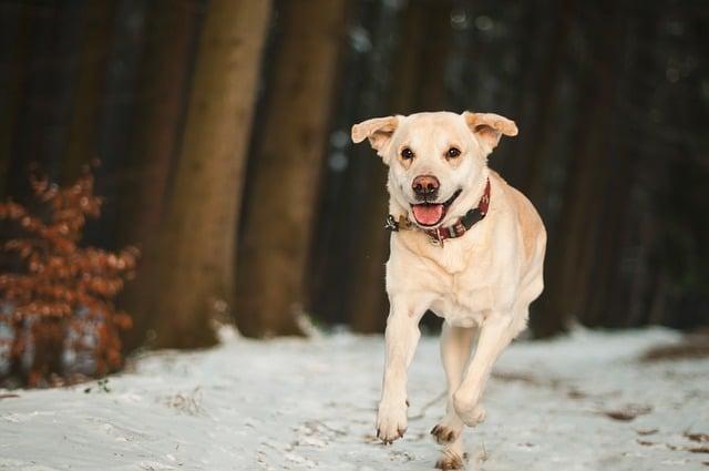 chien faisant du canicross